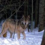 wolf46_1024x768