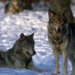 wolf47_1024x768