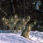 wolf48_1024x768