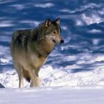wolf49_1024x768