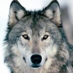 wolf4_1024x768