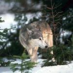 wolf51_1024x768