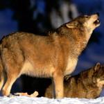 wolf52_1600x1200
