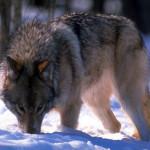 wolf53_1024x768