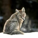 wolf54_1280x1024