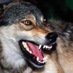 wolf55_1600x1200