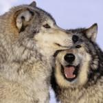 wolf58_1600x1200