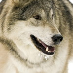 wolf59_1600x1200