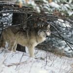 wolf5_1024x768