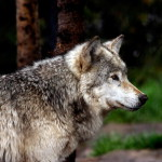 wolf65_1600x1200