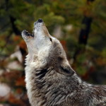 wolf71_1024x768