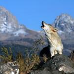 wolf72_1600x1200
