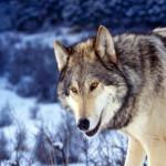 wolf74_1600x1200