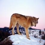 wolf75_1600x1200
