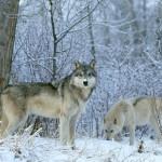 wolf76_1600x1200