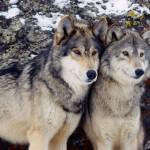 wolf78_1600x1200