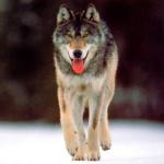 wolf7_1024x768