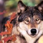 wolf80_1600x1200