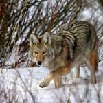 wolf81_1600x1200