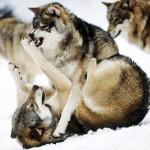 wolf82_1600x1200