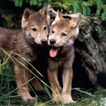 wolf83_1024x768