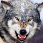 wolf85_1600x1200