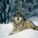 wolf86_1024x768