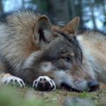 wolf87_1024x768