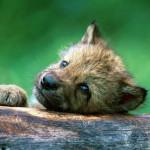wolf89_1024x768