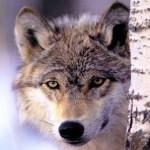 wolf8_1024x768