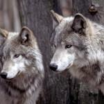 wolf90_1024x768