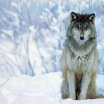 wolf91_1024x768