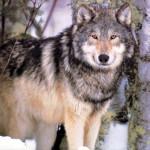 wolf92_1024x768