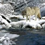 wolf95_1024x768