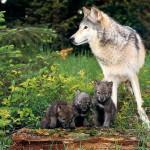 wolf96_1024x768