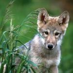 wolf97_1024x768