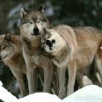 wolf99_1024x768