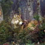wolf9_1024x768
