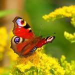 Butterflies_0241046_5752TЕ5752