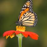 Butterflies_0243594_5824TЕ8736