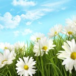 White summer daisies in tall grass with blue sky